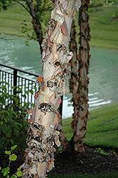 River Birch (Betula nigra) at English Gardens