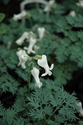 Ivory Hearts Bleeding Heart (Dicentra 'Ivory Hearts') at English Gardens