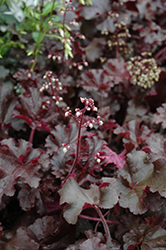 Melting Fire Coral Bells (Heuchera 'Melting Fire') at English Gardens