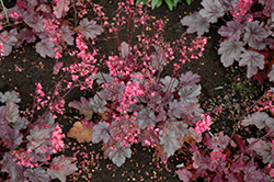 Milan Coral Bells (Heuchera 'Milan') at English Gardens
