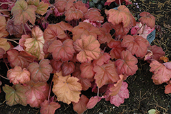 Southern Comfort Coral Bells (Heuchera 'Southern Comfort') at English Gardens
