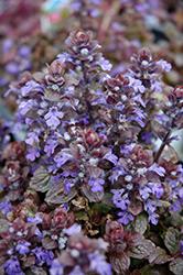 Bronze Beauty Bugleweed (Ajuga reptans 'Bronze Beauty') at English Gardens