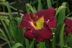 Bela Lugosi Daylily (Hemerocallis 'Bela Lugosi') at English Gardens