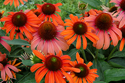 Julia Coneflower (Echinacea 'Julia') at English Gardens