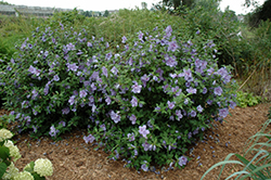 Blue Chiffon® Rose of Sharon (Hibiscus syriacus 'Notwoodthree') at English Gardens