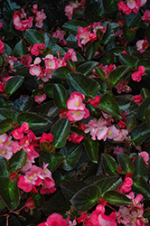 Big® Rose Bronze Leaf Begonia (Begonia 'Big Rose Bronze Leaf') at English Gardens