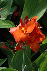 Cannova® Red Canna (Canna 'Cannova Red') at English Gardens