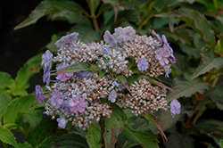 Tiny Tuff Stuff™ Hydrangea (Hydrangea serrata 'MAKD') at English Gardens