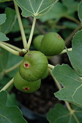 Common Fig (Ficus carica) at English Gardens