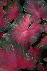 Heart's Delight Caladium (Caladium 'Heart's Delight') at English Gardens