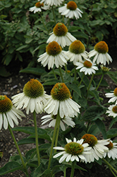 Sombrero® Blanco Coneflower (Echinacea 'Balsomblanc') at English Gardens