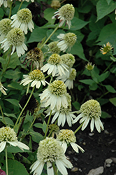 Double Scoop™ Lemon Cream Coneflower (Echinacea 'Balsclemc') at English Gardens