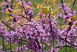 The Rising Sun Redbud (Cercis canadensis 'The Rising Sun') at English Gardens