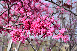 Appalachian Red Redbud (Cercis canadensis 'Appalachian Red') at English Gardens