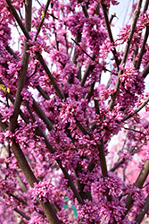Alley Cat Redbud (Cercis canadensis 'Alley Cat') at English Gardens