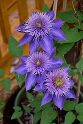 Multi Blue Clematis (Clematis 'Multi Blue') at English Gardens