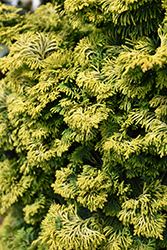 Dwarf Golden Hinoki Falsecypress (Chamaecyparis obtusa 'Nana Aurea') at English Gardens