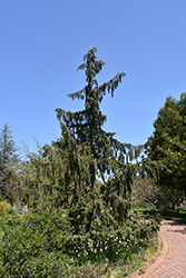 Weeping Nootka Cypress (Chamaecyparis nootkatensis 'Pendula') at English Gardens