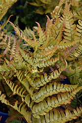 Brilliance Autumn Fern (Dryopteris erythrosora 'Brilliance') at English Gardens