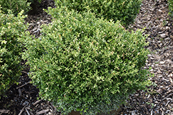 Franklin's Gem Boxwood (Buxus microphylla 'Franklin's Gem') at English Gardens