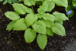 Piedmont Gold Hosta (Hosta 'Piedmont Gold') at English Gardens