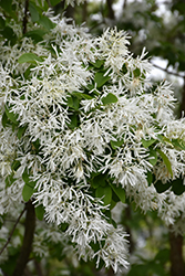 Chinese Fringetree (Chionanthus retusus) at English Gardens