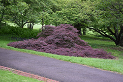 Garnet Cutleaf Japanese Maple (Acer palmatum 'Garnet') at English Gardens