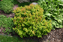 Limoncello™ Barberry (Berberis thunbergii 'BailErin') at English Gardens