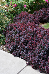Concorde Japanese Barberry (Berberis thunbergii 'Concorde') at English Gardens
