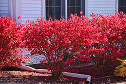 Chicago Fire Burning Bush (Euonymus alatus 'Chicago Fire') at English Gardens