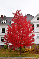 Sun Valley Red Maple (Acer rubrum 'Sun Valley') at English Gardens