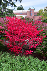 Compact Winged Burning Bush (Euonymus alatus 'Compactus') at English Gardens
