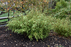 Green Panda Clump Bamboo (Fargesia rufa 'Green Panda') at English Gardens