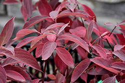 Arctic Fire® Red Twig Dogwood (Cornus sericea 'Farrow') at English Gardens