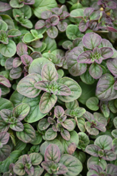 Oregano (Origanum vulgare) at English Gardens