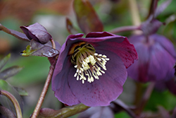 Blue Metallic Lady Hellebore (Helleborus 'Blue Metallic Lady') at English Gardens