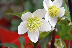 Gold Collection® Jacob Hellebore (Helleborus niger 'Jacob') at English Gardens