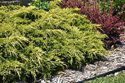 Gold Lace Juniper (Juniperus x media 'Gold Lace') at English Gardens