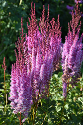 Superba Chinese Astilbe (Astilbe chinensis 'Superba') at English Gardens
