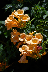 Yellow Trumpetvine (Campsis radicans 'Flava') at English Gardens