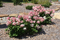 Little Quick Fire® Hydrangea (Hydrangea paniculata 'SMHPLQF') at English Gardens