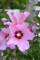 Rose Satin® Rose of Sharon (Hibiscus syriacus 'Minrosa') at English Gardens