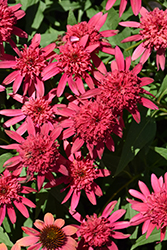 Double Scoop™ Raspberry Coneflower (Echinacea 'Balsceras') at English Gardens