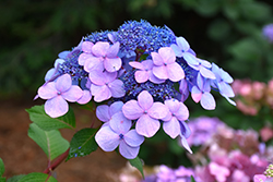 Twist-n-Shout® Hydrangea (Hydrangea macrophylla 'PIIHM-I') at English Gardens