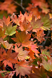 Korean Maple (Acer pseudosieboldianum) at English Gardens