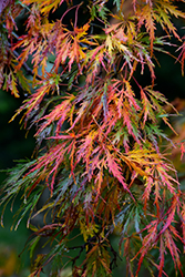 Cutleaf Japanese Maple (Acer palmatum 'Dissectum') at English Gardens