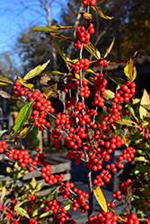 Winterberry (Ilex verticillata) at English Gardens