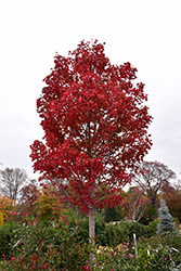 October Glory Red Maple (Acer rubrum 'October Glory') at English Gardens
