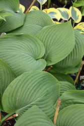 Empress Wu Hosta (Hosta 'Empress Wu') at English Gardens