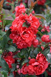 Double Take Pink™ Flowering Quince (Chaenomeles speciosa 'Double Take Pink Storm') at English Gardens